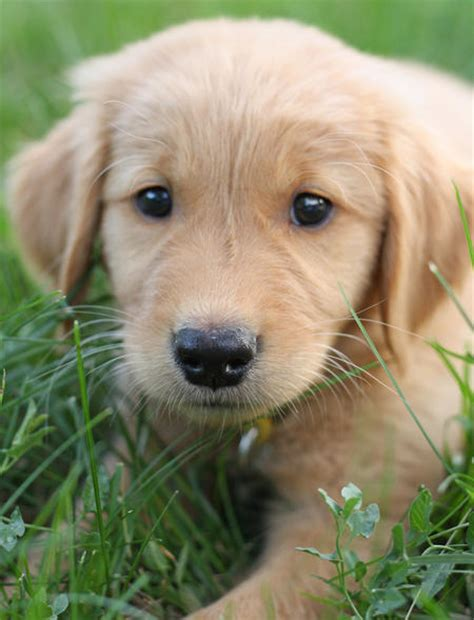 golden retriever puppies images puppies golden retriever image search results