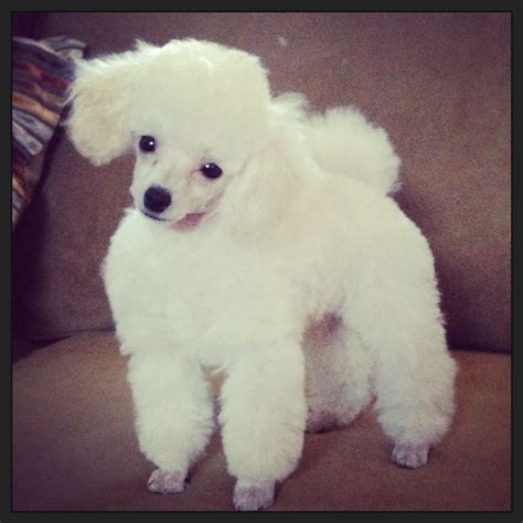 different types of poodle cuts search results for standard poodle haircut styles variety