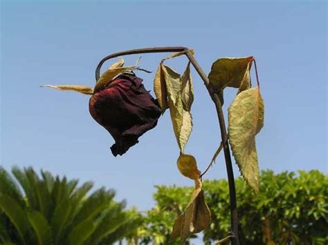 imagenes de rosas marchitas amigos de tamaulipas flores marchitas taller de firmas