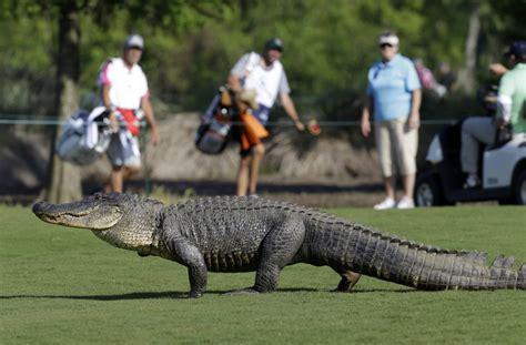 gator on the rise the alligator s comeback alligator human encounters on the rise portland press herald