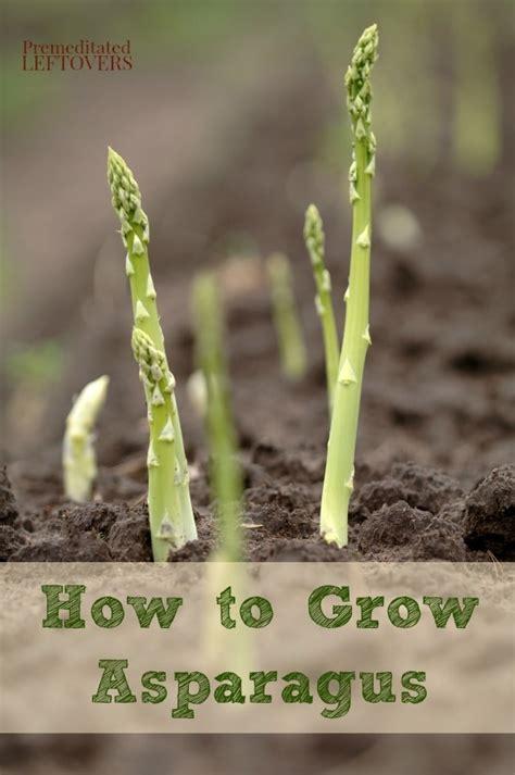 how to a grown how to grow asparagus