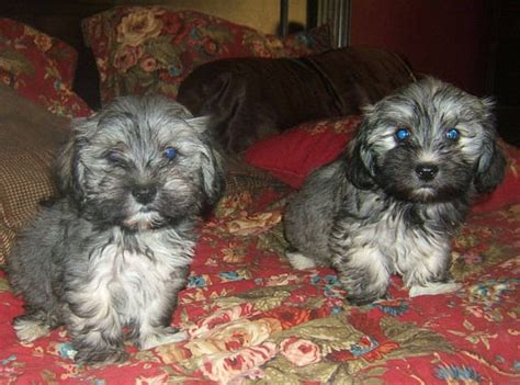 havanese puppies for sale in washington state havanese puppies for sale adoption from cornelius oregon washington adpost