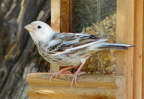 leucistic house finch image gallery leucistic finch