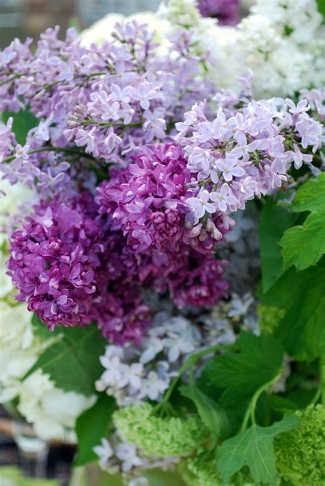 lilacs flowers lilacs lilacs my favorite flower pinterest