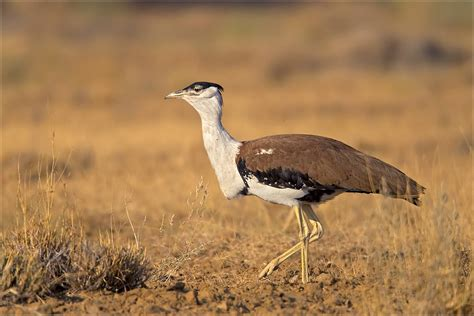 thar desert animals wii report status of great indian bustard and associated