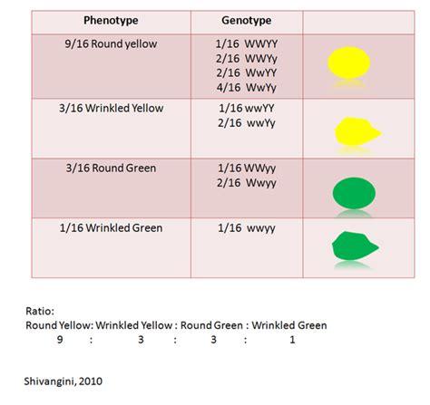 Law of Independent Assortment - Mendelian Genetics F1 Generation Punnett Square