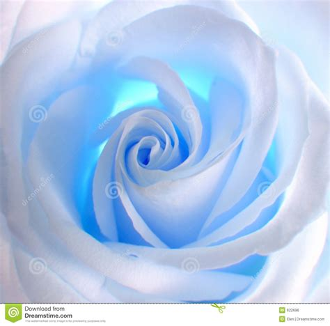 light blue and white roses white blue rose stock photo image of postcard nature