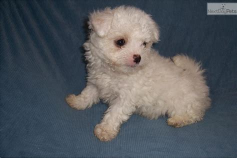 chi poo puppies for sale chi poo chipoo puppy for sale near jackson mississippi 8482ec61 fa81