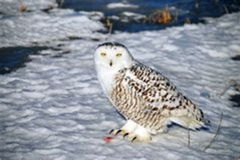 A Snowy Owl Papercraft Resting - kangaroo jumping stock image image of australia