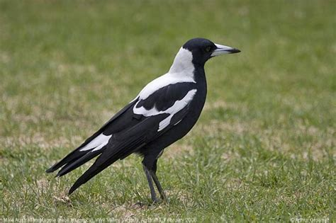 magpie birds in backyards 17 best images about australian birds on pinterest cove