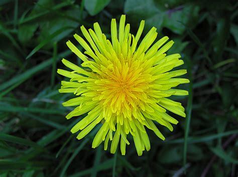 dandelion facts file dandelion flower 1002 jpg universal stewardship