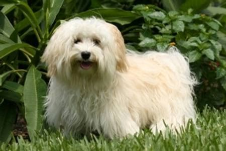 how much do havanese dogs weigh havanese breed information on havanese dogs