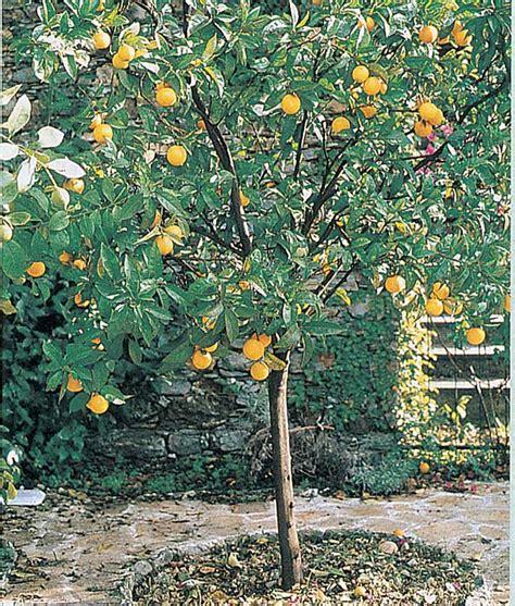 concimazione limone in vaso coltivazione agrumi in vaso
