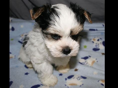 rice yorkies rice terrier puppies for sale