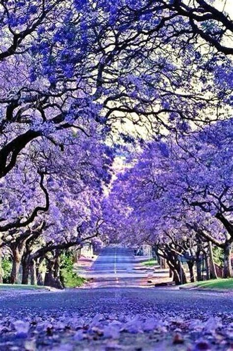 the 25 best jacaranda trees ideas on pinterest purple