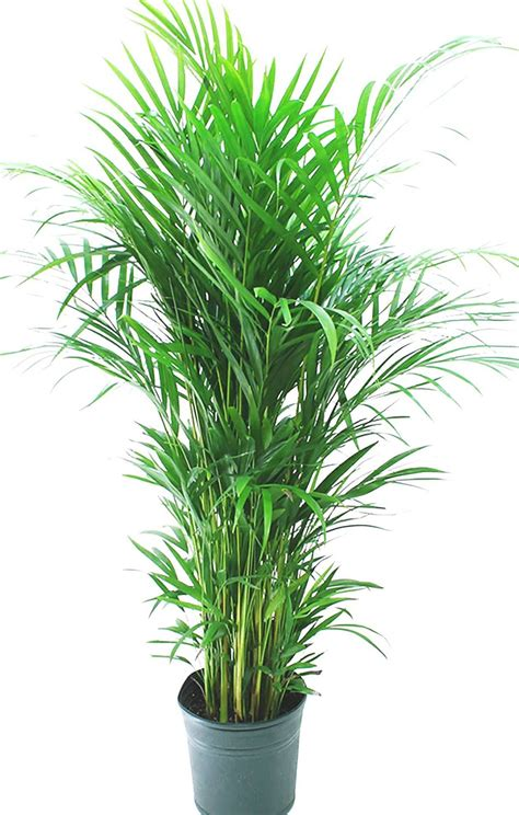 best living room plants these 5 plants are best for living room top 10