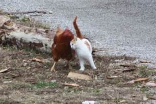 Backyard Chickens And Cats Do Domestic Cats Kill Chickens Backyard Chickens