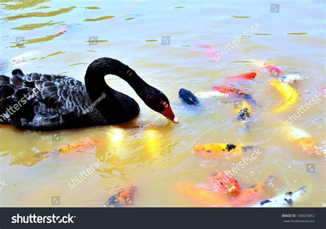 black swans stock photos images pictures shutterstock black swan fish stock photo 146633852 shutterstock