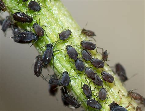 black bugs on christmas tree sternorrhyncha wiktionary