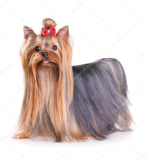 yorkie website terrier different animal s