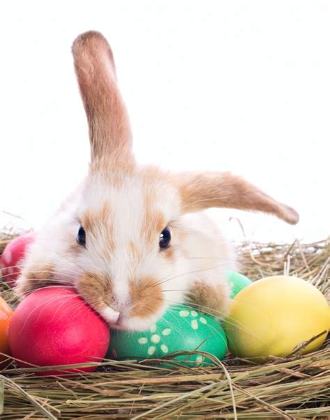 why is the rabbit associated with easter q a why does the easter bunny carry eggs