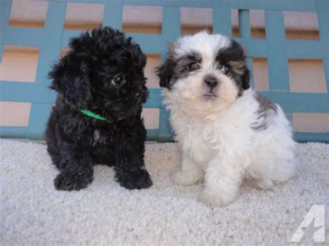 shih tzu cross poodle puppies for sale s day puppies non shed shih tzu poodle cross for sale in creek