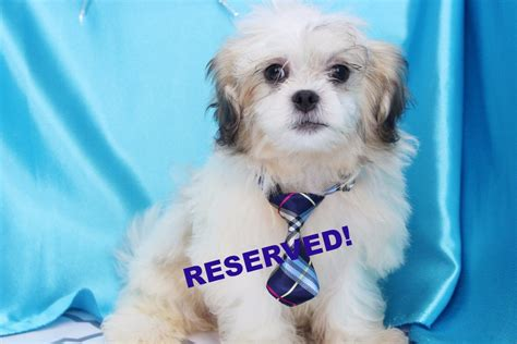 teddy puppies for sale in nc teddy puppies for sale shichon breeders in carolina happytail puppies