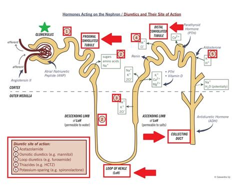 Diuretic Also Search For Best 25 Loop Diuretic Ideas On Pharmacology Cardiac Nursing And Loop Of