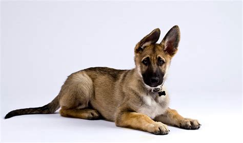 are german shepherds good house dogs 10 reasons why german shepherd is a good family dog pets world