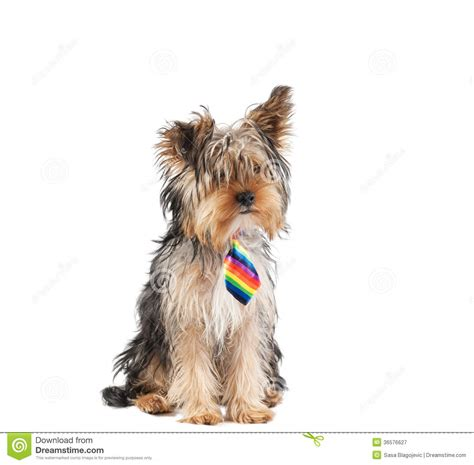 multi colored yorkies yorkie with necktie royalty free stock photography image 36576627