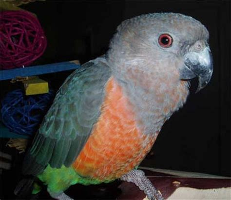 red bellied parrot for sale in elgin illinois classified