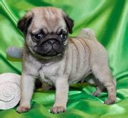 pugs ireland dogs for sale puppies for sale ireland ads ireland dogs for sale puppies for sale