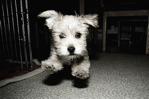 white and yorkie terrier pup on running in black and white photo jpg 5 comments