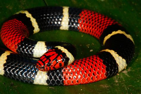 coral snake colors and yellow kills a fellow your identification guide