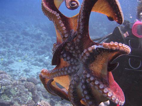 octopus l octopus wallpaper animals town