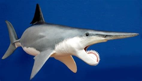 Gergaji Viper Requins Eu Les Origines Pr 233 Historiques