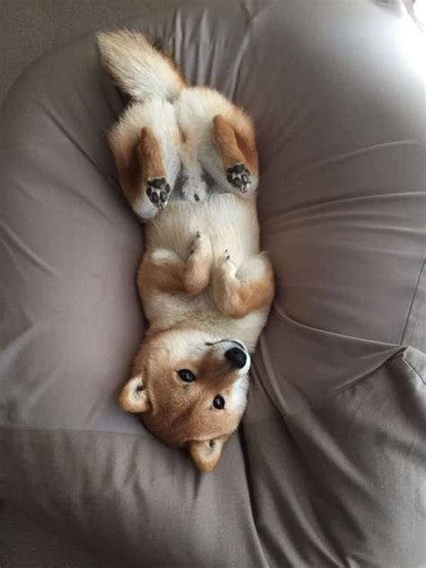 shiba inu alimentazione shiba inu carattere aspetto cura e prezzo dei cuccioli