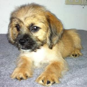shih tzu dachshund mix for sale shih tzu dachshund mix images breeds picture