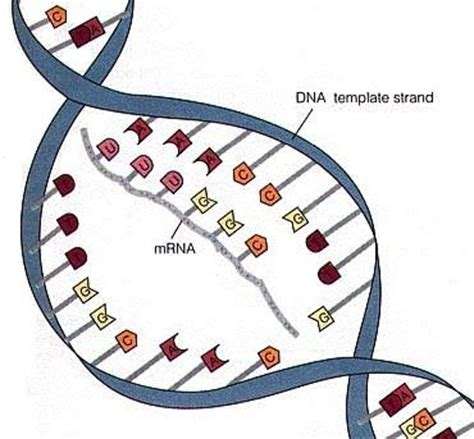 template definition biology genetic code and transcription second genetics