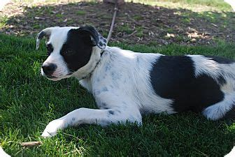 pug collie mix falls id pug border collie mix meet chevy a for adoption