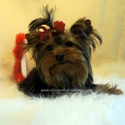 teacup yorkie shedding micro teacup terrier yorkie y hembra breeds picture