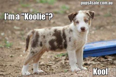koolie puppies for sale german koolie puppies for sale www pups4sale au canine comedy