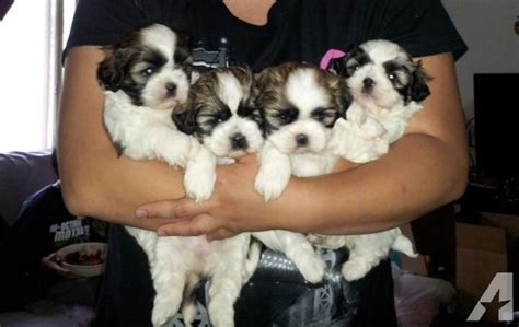 shih tzu puppies mn shih tzu puppies for sale in minneapolis minnesota classified americanlisted