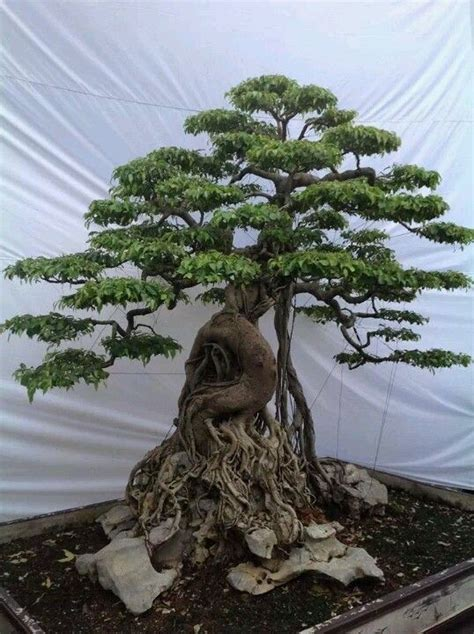 ficus bonsai  root unknown credit bonsai garden