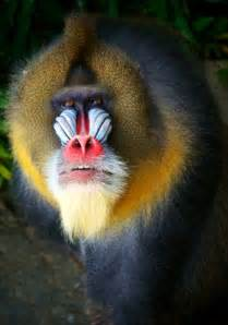 monkey with colorful mandrill mandrillus sphinx about animals
