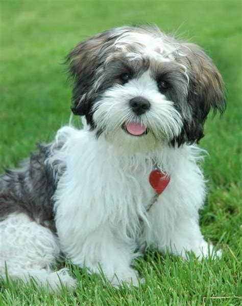 lhasa apso puppy puppy breeds photos