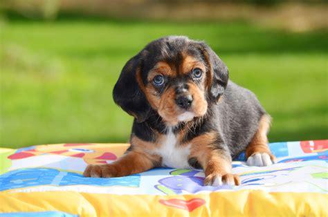 beaglier puppies beaglier puppies for sale chevromist kennels