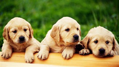 cute puppy wallpaper hd wallpapersafari