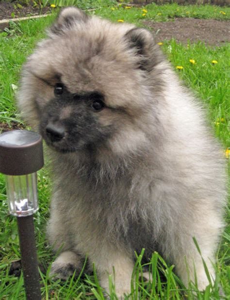 keeshond pomeranian mix pomeranian and german spitz and chow chow breeds picture