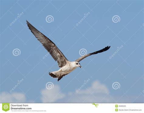 the open boat seagull seagull flying stock photo image 45690225